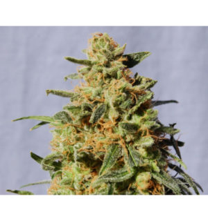 White Domina de Kannabia Seeds