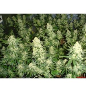 BLUE HELL MEDICAL SEEDS