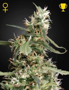 Arjan Ultra Haze 1# 5 Fem. Green House Seeds