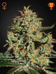 Big Bang 10 Fem. Green House Seeds