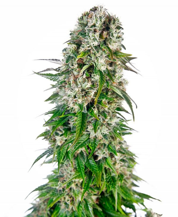 Big Bud Automatic 10 Fem. Sensi Seeds