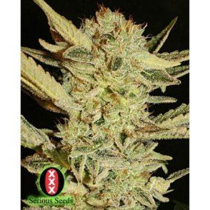 Bubble Gum 11 Reg. Serious Seeds