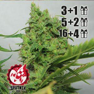 Hash-plant-g13-sputnik-seeds