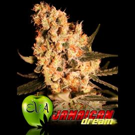 JAMAICAN DREAM 100%