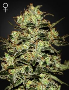 Moby Dick 3 Fem. Green House Seeds