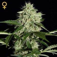 NL Auto 3 Fem. Green House Seeds