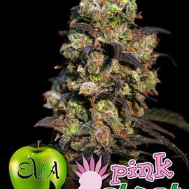 PINK PLANT 100%