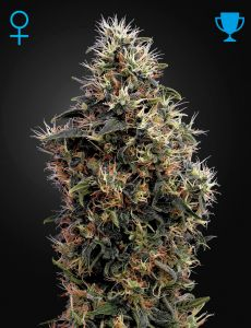 Sweet Mango Auto 5 Fem. Green House Seeds
