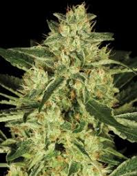 Tora Bora de DNA Genetics
