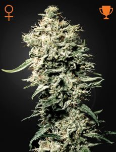 White Rhino 3 Fem. Green House Seeds