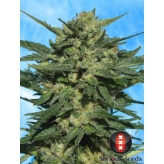 White Russian Auto 6 Fem. Serious Seeds