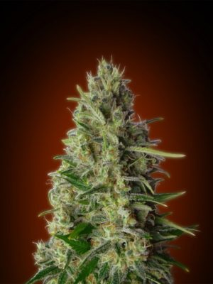 kali 47 Feminizada ADVANCED SEEDS