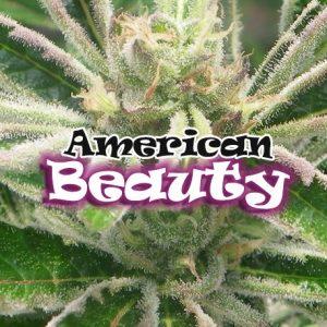 American Beauty 4 Fem. Dr. Underground