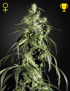 Arjan Haze 1# 5 Fem. Green House Seeds