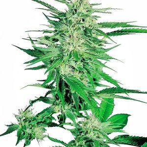 Big Bud 10 Fem. Sensi Seeds