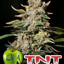 TNT KUSH 100%
