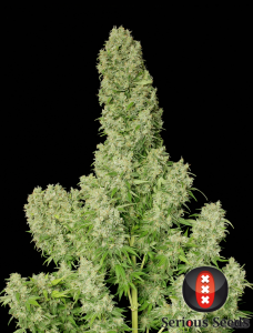 White Russian 6 Fem. Serious Seeds