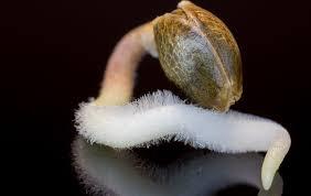 Germinado de semillas